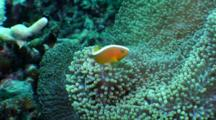 Skunk Anemonefish In Host Anemone