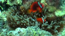 Pair Of Tomato Anemonefish In Host