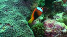 Tomato Anemonefish In Anemone