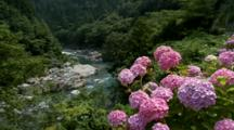 Hydrangeas Above Stream Flowing Through Dense Forest