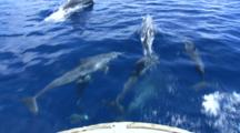 Dolphins Ride Bow Of Boat