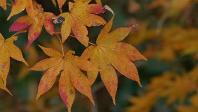 Autumn Leaves, Hakone, Kanagawa, Japan