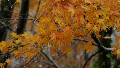 Autumn Maple Leaves and Trees, Hakone, Kanagawa, Japan