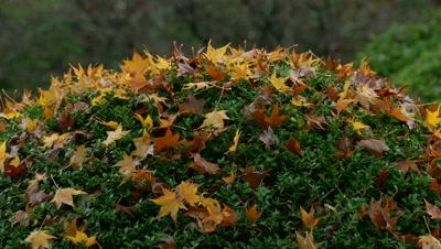 Autumn Maple Leaves, Hakone, Kanagawa, Japan