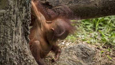 Baby Orangutan at Taipei Zoo, Taiwan