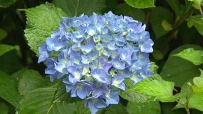 A Hydrangea Flower in Full Bloom