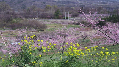 Passenger train with oilseed rape flowers and peach blossoms