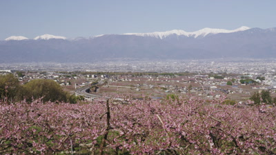 Peach blossoms with Kofu basin and Japanese alps in background
