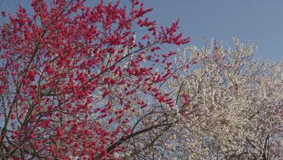 Flowering peach trees at Chikuma Riverside Park