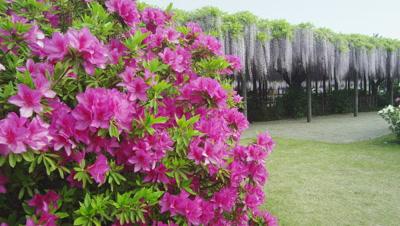 Japanese white wisteria and azalea at Tamashiki Park