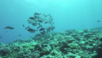 School of Goldlined sea bream in Kume Island, Okinawa Prefecture, Japan