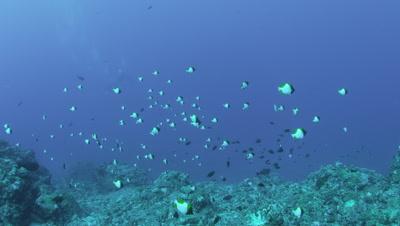 School of Pyramid butterfly fish in Tonbara, Kume Island, Okinawa Prefecture, Japan