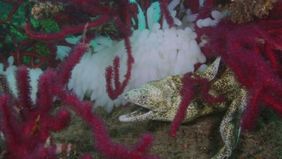 Kidako moray and eggs of Bigfin reef squid