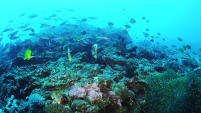 Tropical fishes swimming at Balicasag Island, Philippines