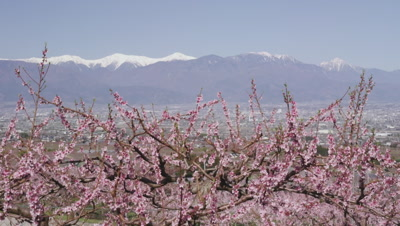 Snow covered mountains and peach trees