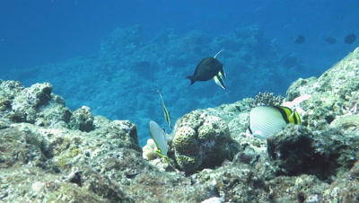 Butterfly fishes and pennant coral fishes swimming in Ishigaki Island, Okinawa, Japan