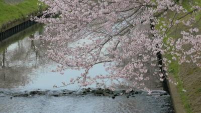 Cherry blossoms along Ebi River in Chiba, Japan