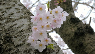 Cherry blossoms swinging with breeze in Japan