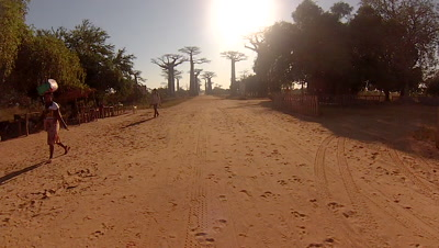 Baobab trees along road in Morondava, Republic of Madagascar