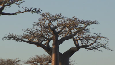 Baobab trees and sky in Madagascar