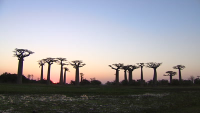 Baobab trees at dusk in Morondava, Republic of Madagascar