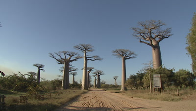 Baobab trees and blue clear sky in Madagascar