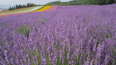 Flower field at Farm Tomita in Furano, Hokkaido, Japan