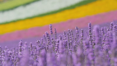 Lavender flower swinging with breeze