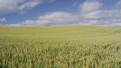 Wheat field in Biei, Hokkaido, Japan