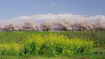 Cherry blossoms and rapeseed flowers in Chikuma Riverside Park, Obuse Town, Kamitakai District, Nagano Prefecture, Japan