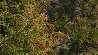 Pollen blowing off Japanese cedar trees, Minamiashigara City, Kanagawa Prefecture, Japan