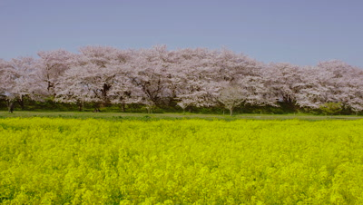 Cherry blossoms and rapeseed flowers at Gongendo Tsutumi, Satte City, Saitama Prefecture, Japan