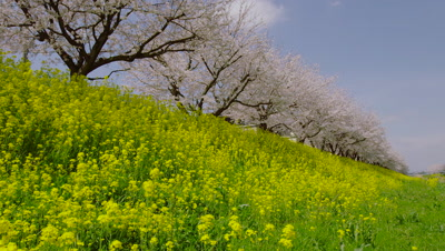 Cherry blossoms and rapeseed flowers along Aogebori River, Satte City, Saitama Prefecture, Japan
