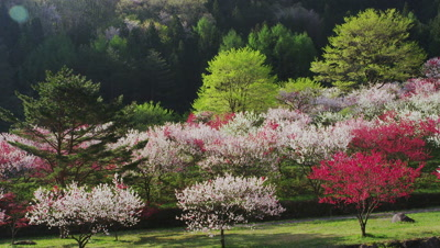 Peach trees in bloom at Hanamomo-no-sato, Achi Village, Shimoina District, Nagano Prefecture, Japan