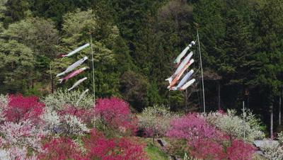 Koinobori and peach blossoms at Hanamomo-no-sato, Achi Village, Shimoina District, Nagano Prefecture, Japan