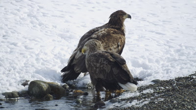 White tailed eagles in Hokkaido, Japan