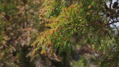 Cedar pollen flying with wind in Kanagawa, Japan
