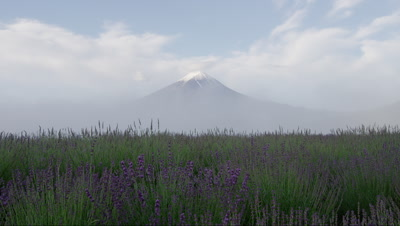 Lavender field with Mt. Fuji in background, Yamanashi, Japan