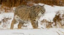 Bobcat Watches Intently While Running In Snow