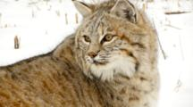 Bobcat Watches Intently On Snow Covered Hill