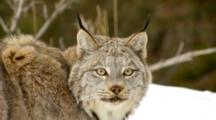 Lynx Walking And Watching Intently