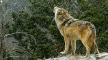 Grey Wolf Howling To Pack Members During A Winter Snowstorm
