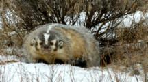 A Grumpy Badger Sniffs And Looks Around During A Snowstorm