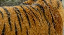 The Coat Of A Siberian Tiger During A Snowstorm