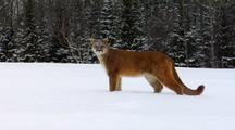 Mountain Lion Walking Away In Winter Snow