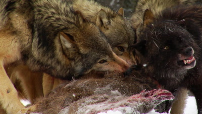 Wolves, Wolf, Pack Feeding On Carcass Of Whitetail Deer