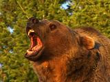 Grizzly Bear Growling, Snarling, Showing Teeth In Early Morning Golden Light