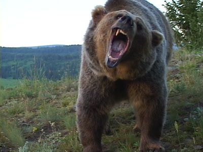 Grizzly Bear Walking Over A Hill, Stopping, Growling, Snarling, Showing Teeth