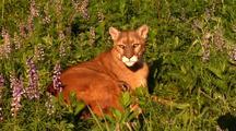 Female Mountain Lion Nursing Kitten. Resting In Grass.