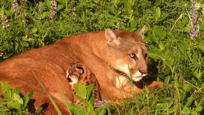 Female Mountain Lion Grooming Kitten
